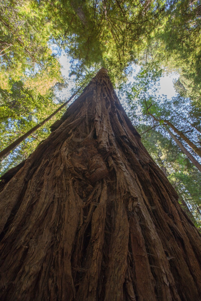 Parson Jones, the tallest tree in the Armstrong Redwood SNR