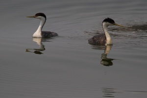 A pair of grebes at Clearlake
