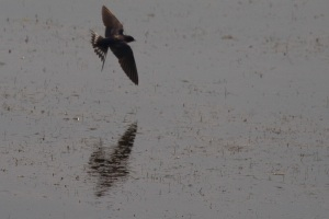 Swallow at Clearlake
