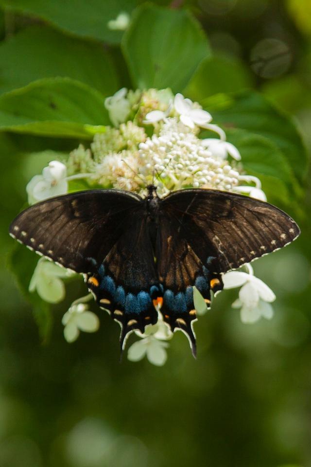 Black Swallowtail (Papilio polyxenes Fabricius)