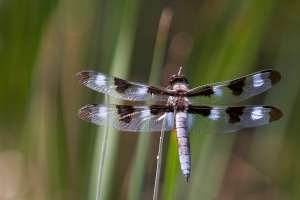 Eight spotted skimmer (Libellula forensis) on Sunset Lake near Hygiene, CO