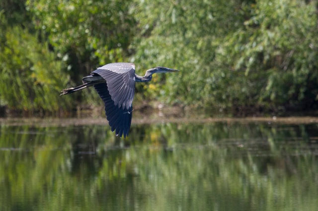 probable Great Blue Heron on Heron lake