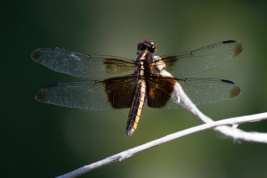 Widow Skimmer (Libellula luctuosa) on Sunset Lake near Hygiene, CO