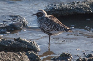 American Plover