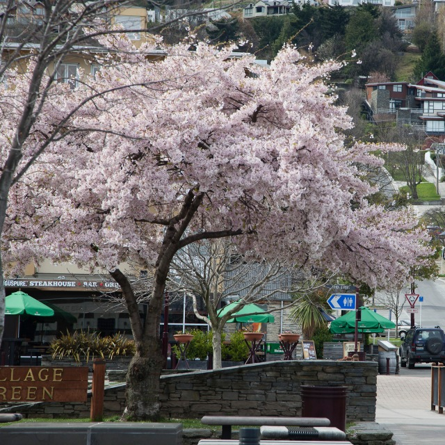 Spring blossoms in Queenstown