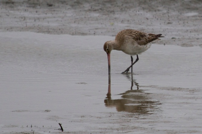Bar tailed godwit at Foxton Beach