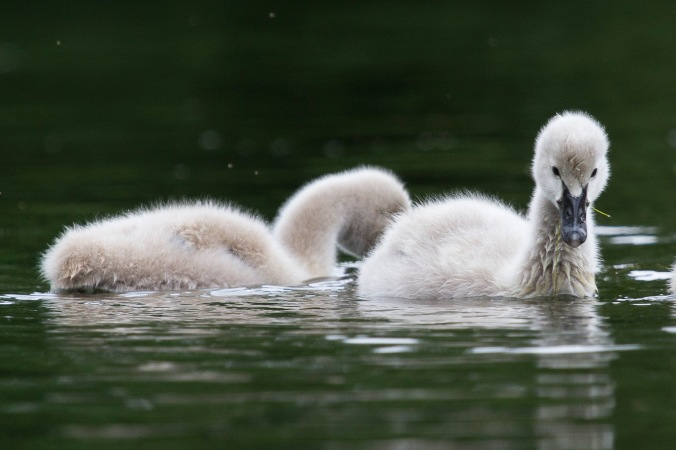 Cygnets on the lagoon