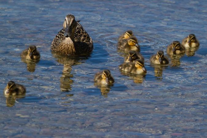 Duckling squadron