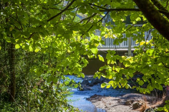 Back-lit leaves beside the stream