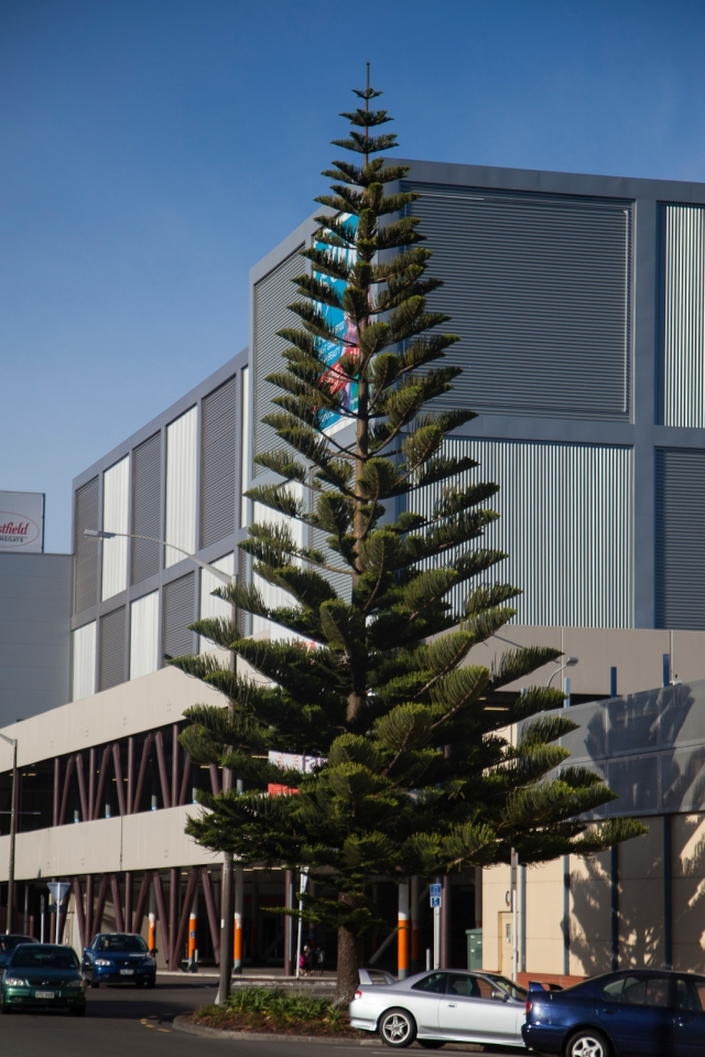 Norfolk pine in the city