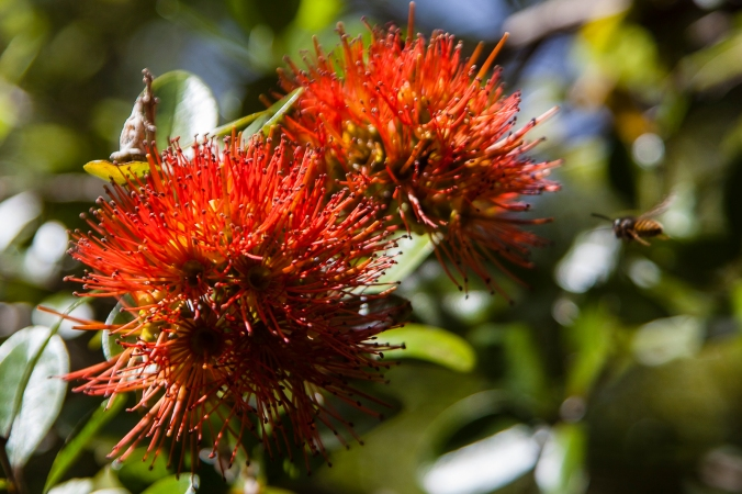 The Northern Rata (with bee)