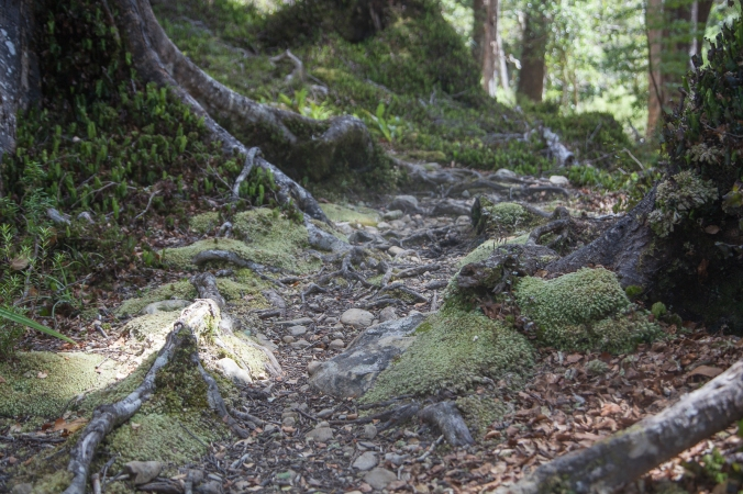 Many roots and rocks threaten the ankles