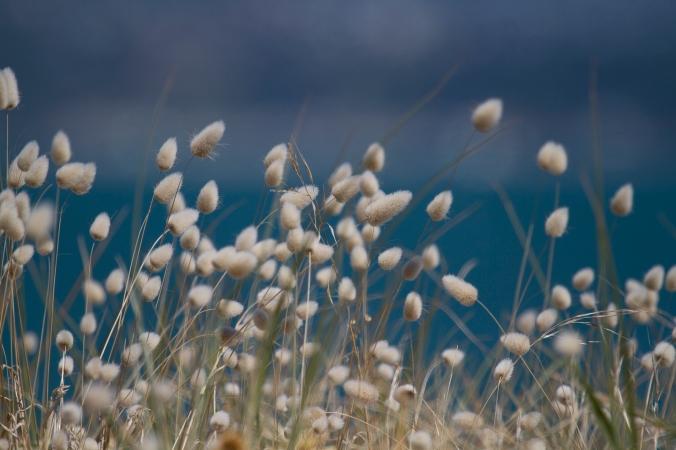 Dune grasses nodding vigorously in the wind