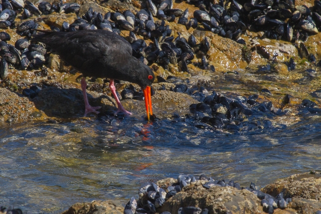 Variable Oystercatcher taking a leisurely lunch