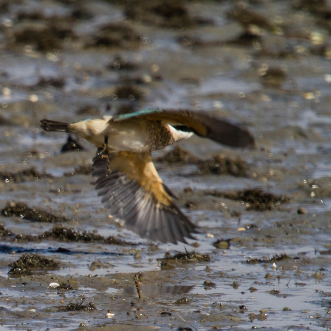 Kingfisher swoops on an unfortunate crab