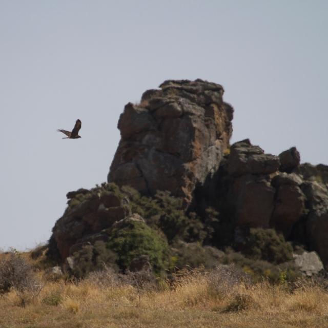 Australasian Harrier Hawk