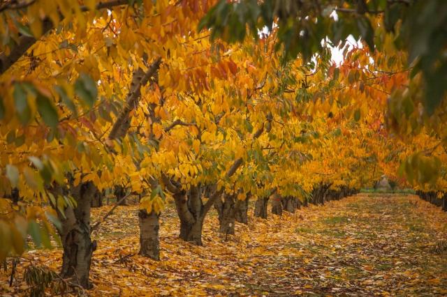 Orchard near Cromwell