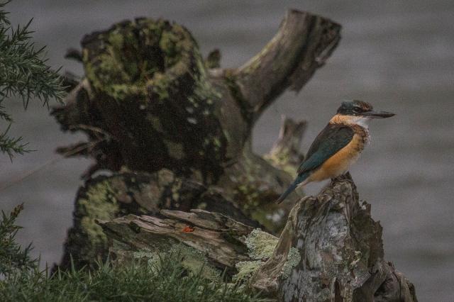 Kingfisher at Invercargill