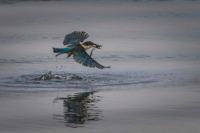 Kingfisher with crab (and weed)