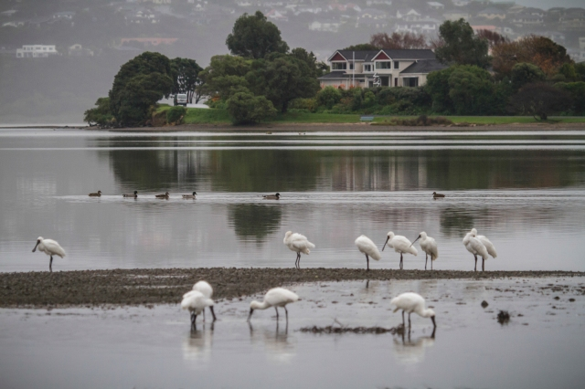 Royal spoonbills feeding at Pauatahanui