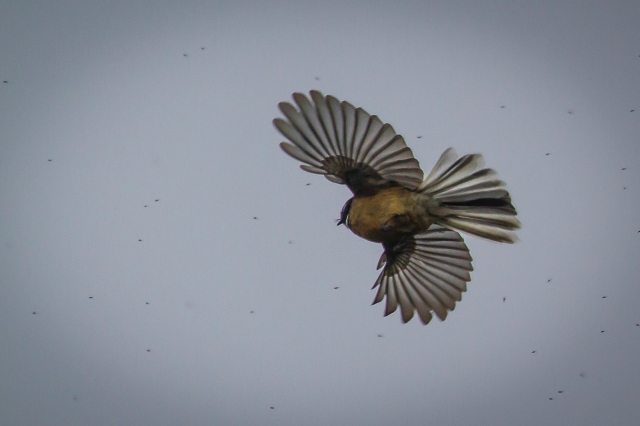 Fantail in pursuit of sandflies