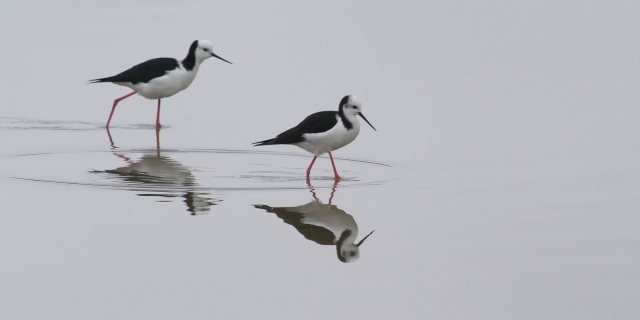 A pair of pied stilts