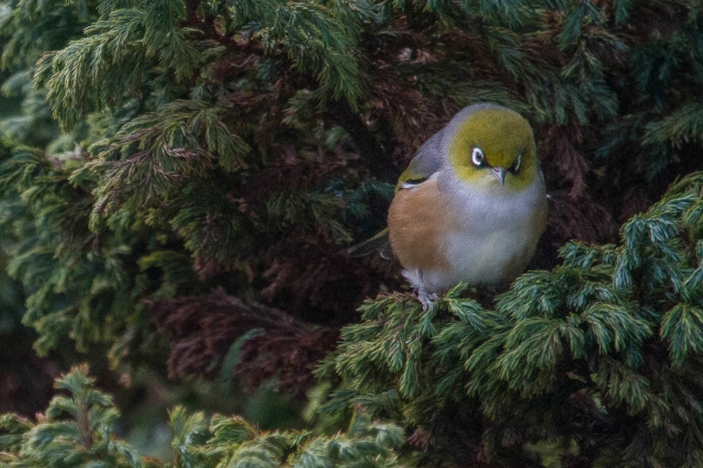 "Waxeye looking ""cute"""