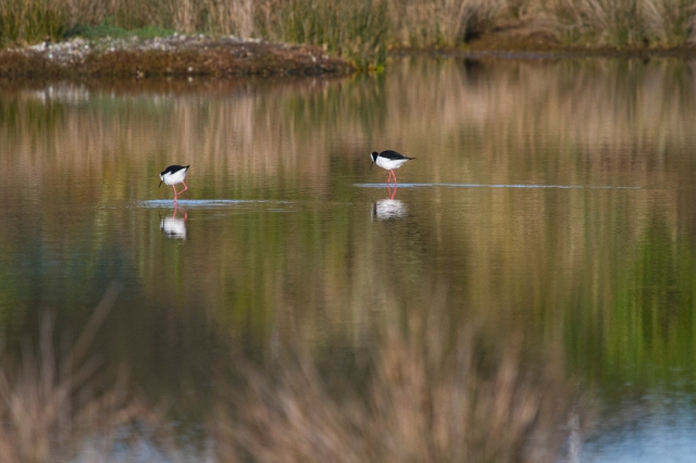 Pied stilts in the pond at Grays Rd