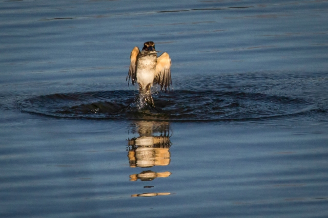 Kingfisher emerges from crab dive