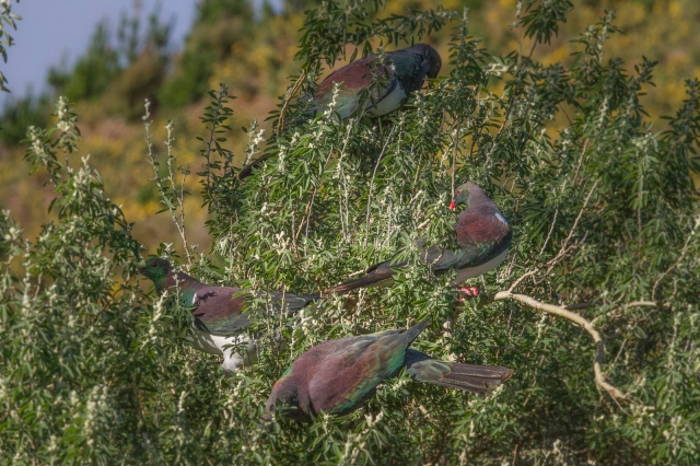 Native wood pigeons