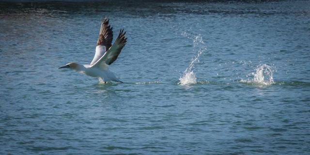 Australasian gannet on take off