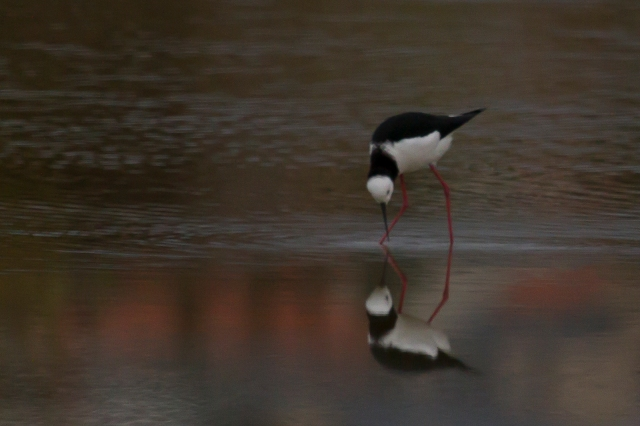 Pied stilt fossicking for food