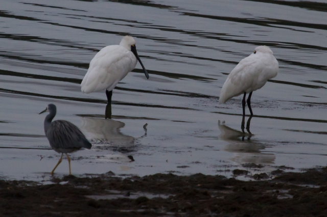 Royal spoonbills and a white-faced heron
