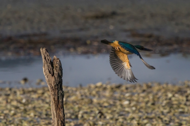 Kingfisher chasing crabs from one of our new perches