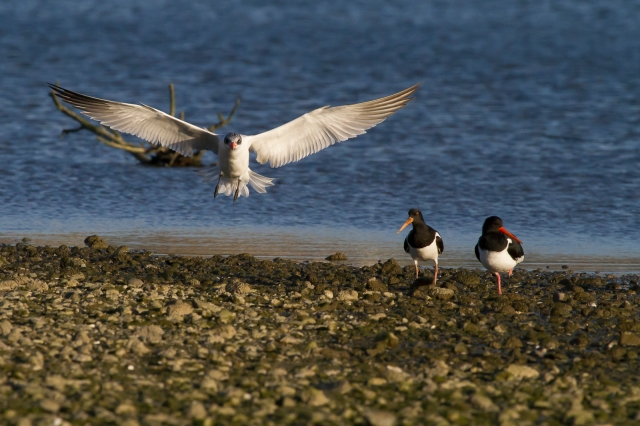 The tern decides to land beside the Pied Oystercatcher