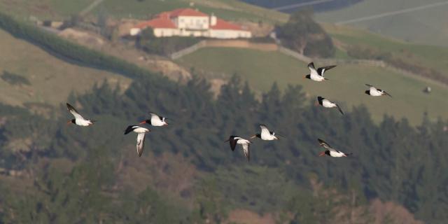 Pied oystercatcher flock against the pastoral landscape