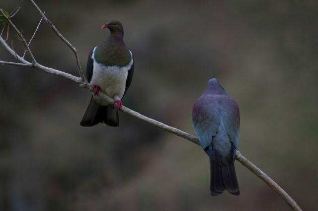 New Zealand wood pigeons