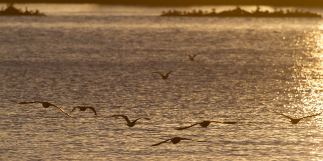 Little black shags fly to the setting sun