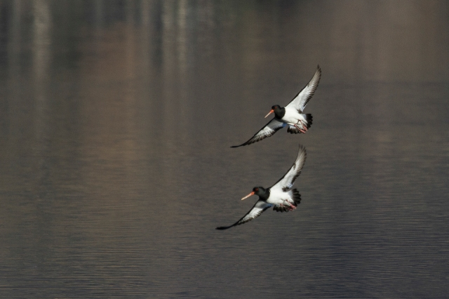Oystercatchers in tight formation
