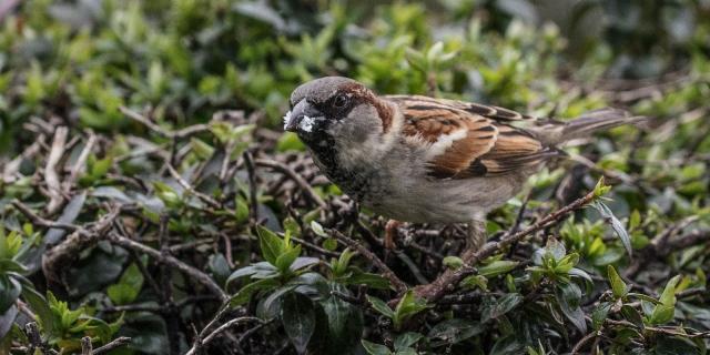 Common house sparrow (Passer domesticus)