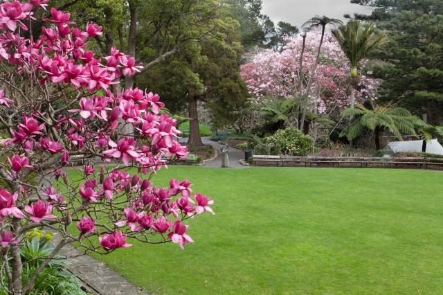 Magnolias blooming in the botanic gardens