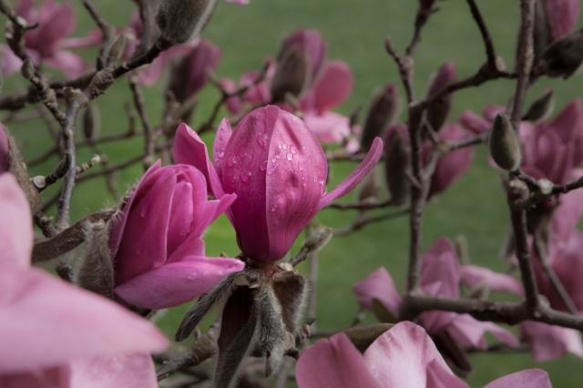 Raindrops on the magnolia blossoms