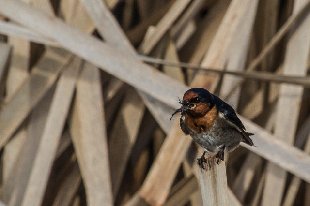 Welcome swallow eating unknown insect