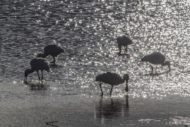 Near sunset, Royal spoonbills grazing