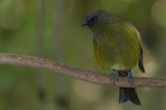 Belbird with blue pollen