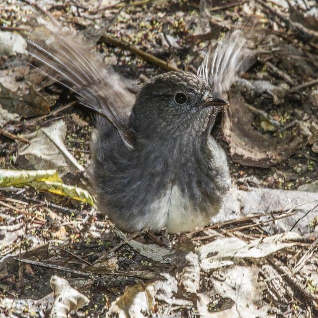 North Island robin (1)