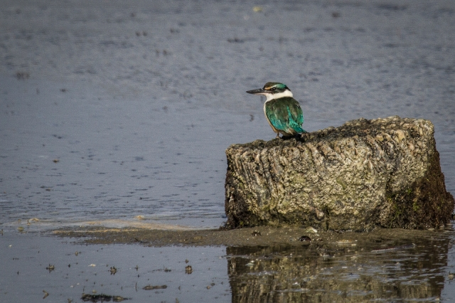The kingfisher looking for crabs