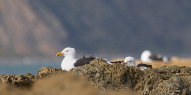 Black backed gulls at rest