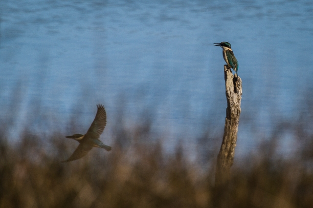 Kingfisher portrait photobombed