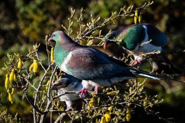 New Zealand wood pigeon (x3)